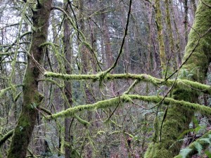Moss-covered trees in Forest Park, Portland, Oregon