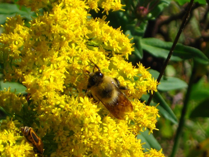 Close-up photo of a bee on yellow wildflowers