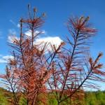 Red Pine Sky