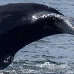 Scientists Find New Sensory Organ in the Chin of Baleen Whales