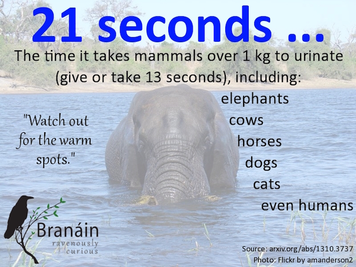 Branain: urination infographic with picture of elephant in water