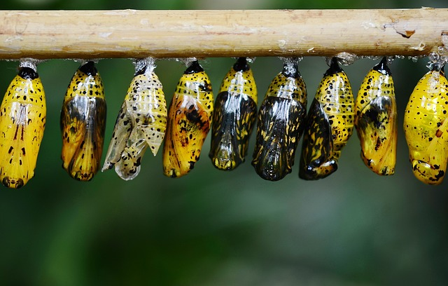 A row of butterfly cocoons hanging from a pole