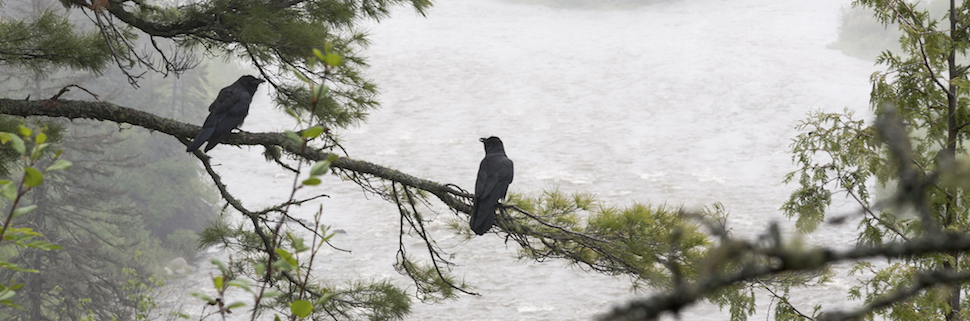 ravens - tree - Pigeon River