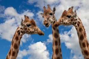 Three giraffes talking (Pixabay)