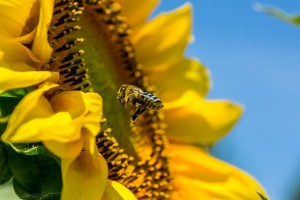 bee, sunflower, close-up
