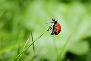 Ladybug on a blade of grass | insects