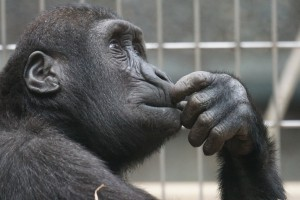 ape, non-human primate, hand gesture, thinking
